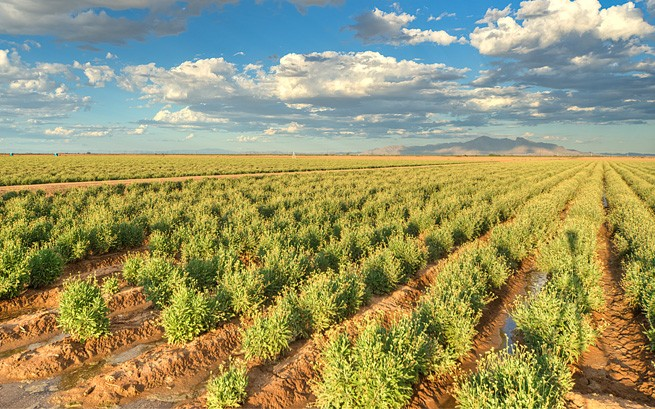 Bridgestone guayule shrubs