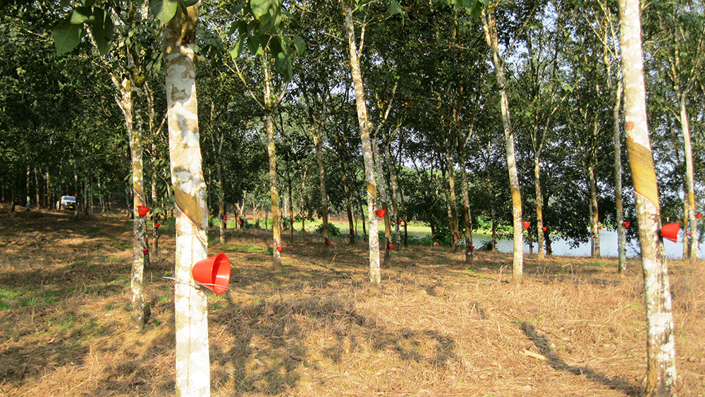Firestone Liberia rubber trees